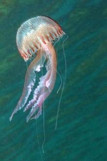 Jellyfish_3