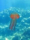 Jellyfish_1 (1)